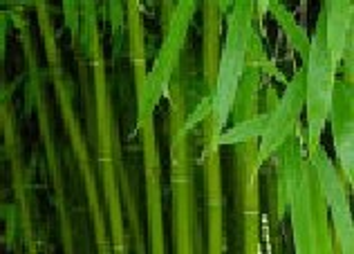 Bambu'