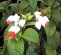 Clerodendrum